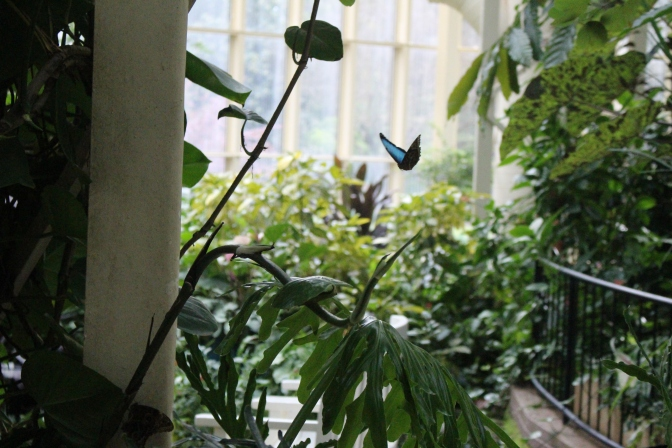 One of the beautiful butterflies fluttering around the conservatory.